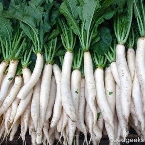 Daikon Radishes - This Week's Healthy Snack at Brookeside Montessori School