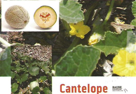 Cantelope from Bause Catered Events